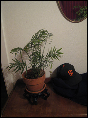 Photo of table palm, San Francisco Giants cap