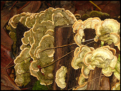 Photo of turkey tail mushrooms, Deer Park